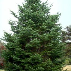 Jodła mandżurska duże drzewo zdjęcie poglądowe