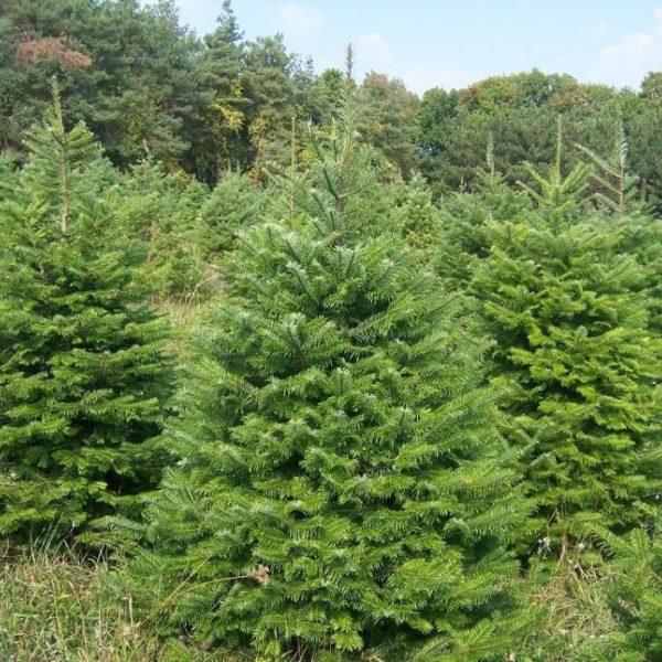 Jodła olbrzymia duże drzewo zdjęcie poglądowe