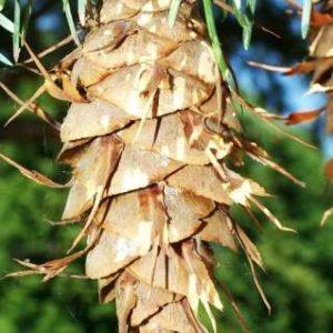 Daglezja zielona szyszka