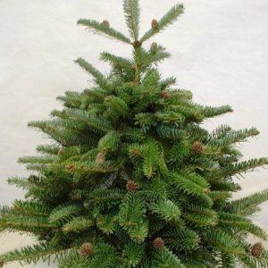 Jodła frasera drzewko zdjęcie poglądowe
