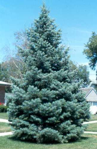 Jodła kalifornijska duże drzewo zdjęcie poglądowe
