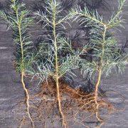 Jodła kalifornijska siewki zdjęcie poglądowe
