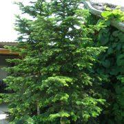 Jodła kaukaska duże drzewo zdjęcie poglądowe