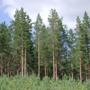 Sosna pospolita Pinus silvestris gk
