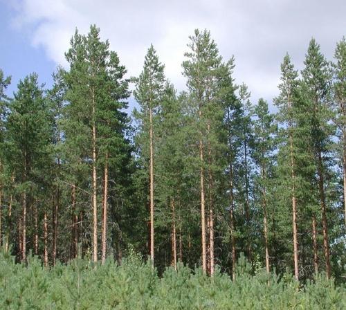 Świerk pospolity las zdjęcie poglądowe