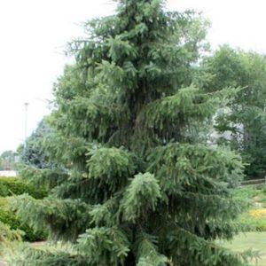 Świerk serbski duże drzewo zdjecie poglądowe
