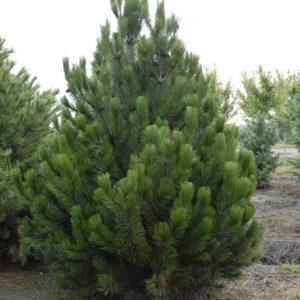 Sosna bośniacka Pinus heldreichii