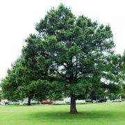Sosna czarna Pinus nigra duże drzewo zdjęcie poglądowe