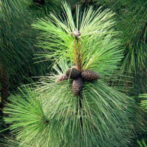 Sosna żółta Pinus ponderosa szyszki