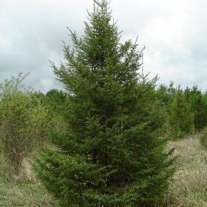 Świerk czarny duże drzewo zdjęcie poglądowe
