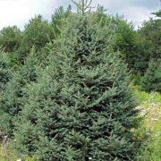 Świerk Meyera  duże drzewo zdjęcie poglądowe