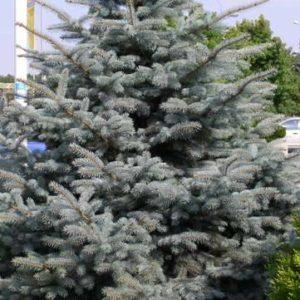 Świerk srebrny Picea glauca sadzonki