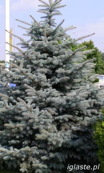 Świerk srebrny Picea  pungens glauca
