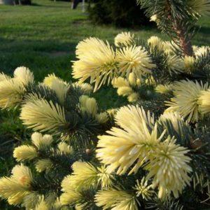 Świerk Białobok wiosenny kremowy przyrost
