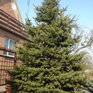 Świerk biały Picea densata