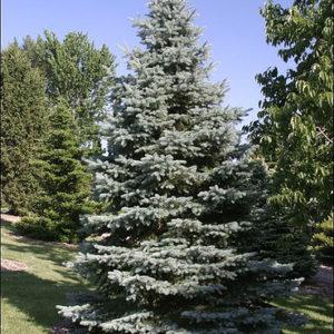 Świerk srebrny apache duże drzewo zdjęcie poglądowe