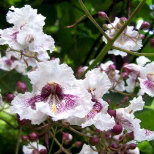 Katalpa catalpa surmia wielkokwiatowa