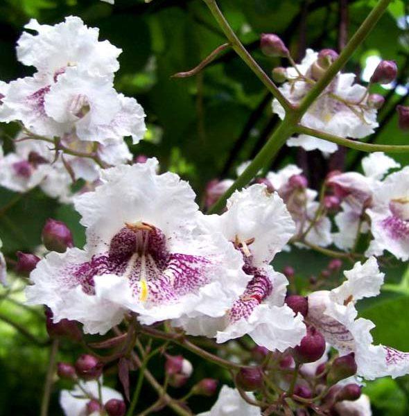 Katalpa wielkokwiatowa kwiat zdjęcie poglądowe