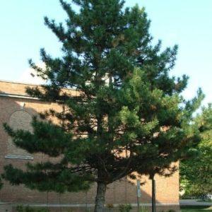 Sosna czarna austriacka- duże drzewo zdjęcie poglądowe