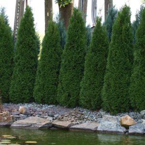 Thuja Smaragd roczna sadzonka 6-10cm