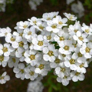 Tawuła Grefsheim kwiat zdjęcie poglądowe