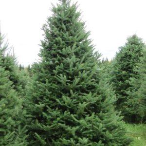 Jodła balsamiczna duże drzewo zdjęcie poglądowe