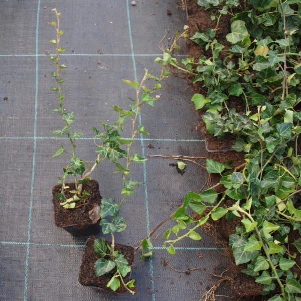 Bluszcz zielony hedera helix sadzonki zdjęcie poglądowe