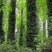 Bluszcz zielony-zdjęcie poglądowe