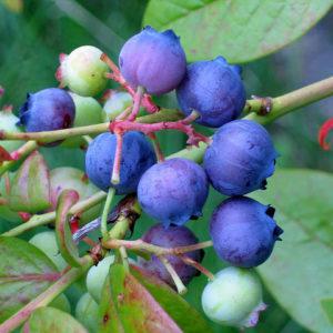 Owoce borówki zdjęcie poglądowe