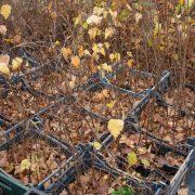 Brzoza brodawkowata już bez liści jesienny wygląd