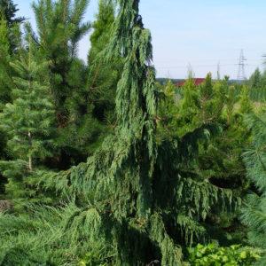 Cyprysik nutkajski Pendula duże drzewo zdjęcie poglądowe