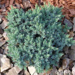 Jałowiec Blue star duży krzew zdjęcie poglądowe