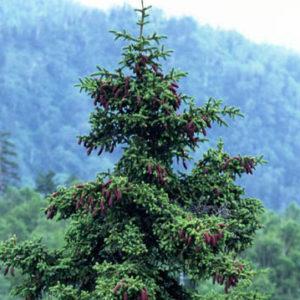 Świerk ajański zdjęcie poglądowe