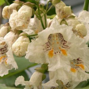 Katalpa zwyczajna - kwiat zdjęcie poglądowe