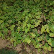 Katalpa wielkokwiatowa 30-40cm