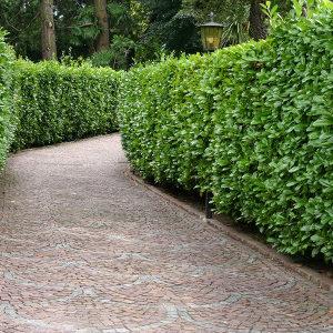 Grab carpinus sadzonki w doniczce
