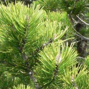 Sosna górska kosodrzewina Rotundata