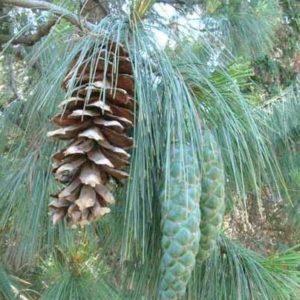 Sosna himalajska Pinus grifthiti