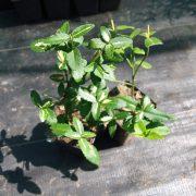 Trzmielina sunspot sadzonka zdjęcie poglądowe