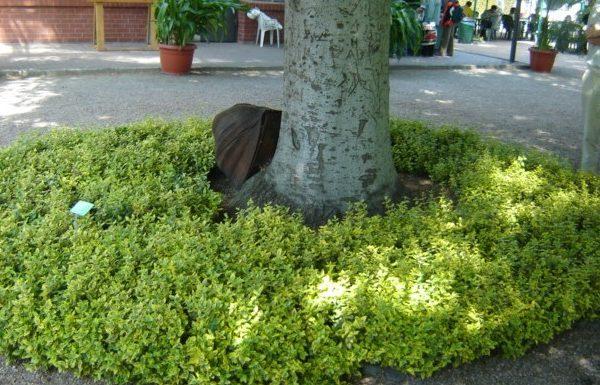 Trzmielina żółta Emerald gold krzew pod drzewem