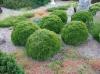 Thuja Danica duży krzew zdjęcie poglądowe