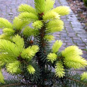 Świerk kłujący Maigold wiosenne przyrosty zdjęcie poglądowe