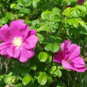 Dzika róża rugo rosa
