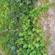 Winobluszcz na murze