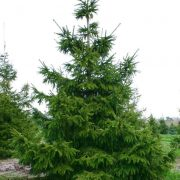 Świerk kaukaski duże drzewo-zdjęcie poglądowe