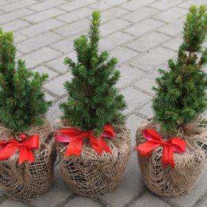 Świerk Conica picea glauca choinka świąteczna