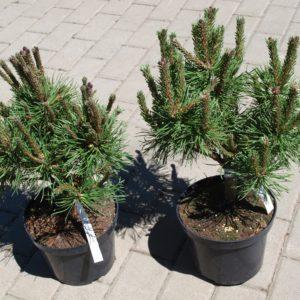 Sosna Pinus mugo Litomyśl