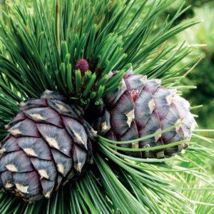 Sosna limba Pinus cembra