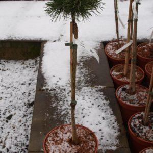 Pinus mugo uncinata kosodrzewina Wiel