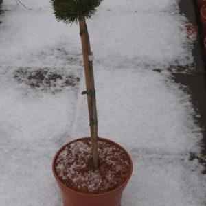 Pinus mugo kosodrzewina  Jacobsen